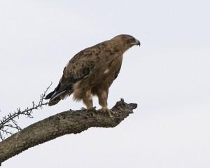 Booted eagle(Hieraaetus pennatus)