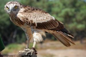 Short-toed snake eagle(Circaetus gallicus)