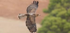 Bonelli's eagle(Hieraaetus fasciatus)