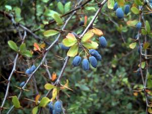 Berberis hispanica(Berberis hispanica)