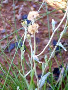 Helichrysum luteoalbum(Gnaphalium luteo-album)