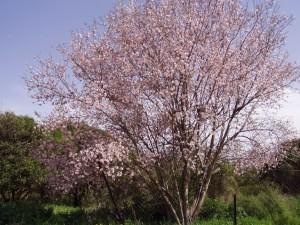 Almond Tree(Prunus dulcis)