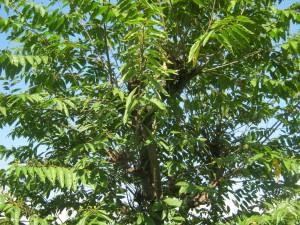Hackberry     (Celtis australis)