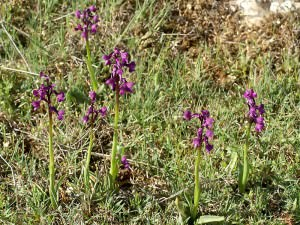 Green Veined Orchid      (Anacamptis morio subsp. champagneuxii)