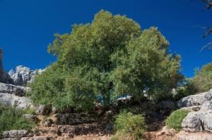 Maple(Acer monspessulanum)