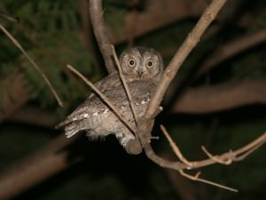 European scops owl(Otus scops)