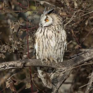 Long-eared owl(Asio otus)