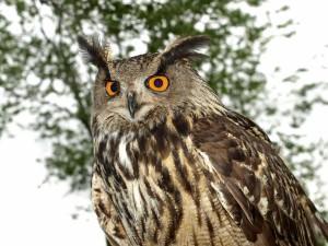 Eurasian eagle-owl(Bubo bubo)