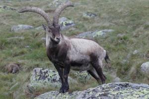 Iberian ibex (Capra pyrenaica)