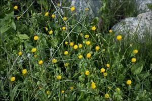 Calendula(Calendula arvensis)