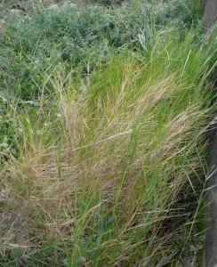 Barley(Brachypodium retusum)