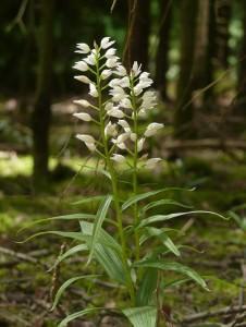 Sword-leaved Helleborine    (Cephalanthera longifolia)