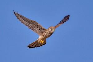Common kestrel(Falco tinnunculus)