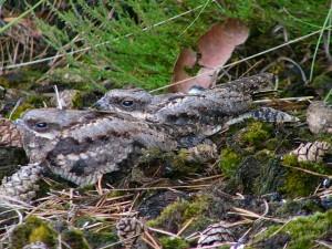 European nightjar(Caprimulgus europaeus)