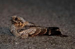 Red-necked nightjar(Caprimulgus ruficollis)