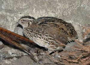 Common quail(Coturnix coturnix)