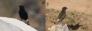 Black wheatear(Oenanthe leucura)