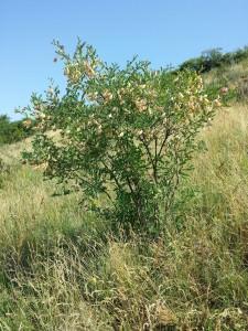 Colutea arborescens    (Colutea arborescens)