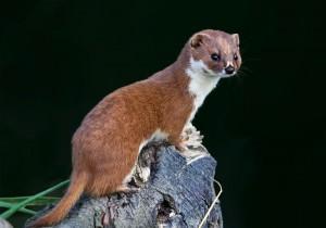 Least weasel(Mustela nivalis)