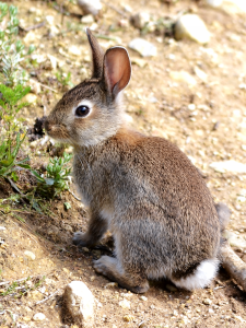 European rabbit (Orytolagus cuniculus)