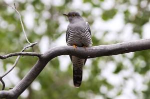 Common cuckoo(Cuculus canorus)