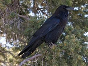 Common raven(Corvus corax)