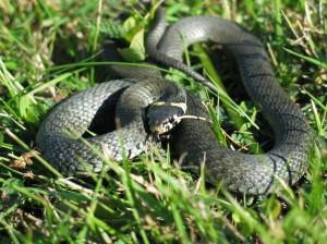 Grass snake(Natrix natrix)