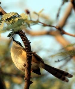 Western Orphean warbler(Sylvia hortensis)