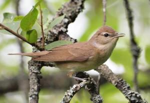 Garden warbler(Sylvia borin)
