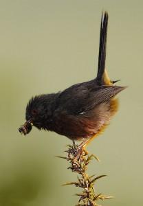 Dartford warbler(Sylvia undata)