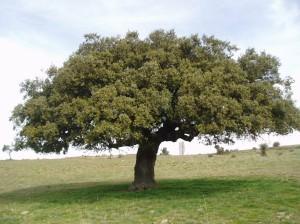 Holm Oak(Quercus ilex)