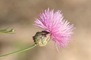 Mantisalca salmantica (Mantisalca salmantica)