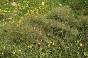 Asparagus aphyllus     (Asparagus aphyllus)