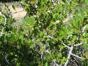 Hawthorn (Rhamnus oleoides)