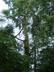Ash(Fraxinus angustifolia)