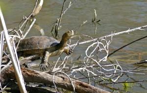 Spanish pond turtle(Mauremys leprosa)