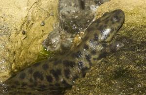 Iberian ribbed newt(Pleurodeles waltl)