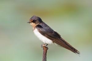 Barn swallow(Hirundo rustica)