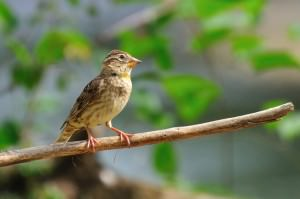 Rock sparrow(Petronia petronia)