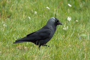 Western jackdaw(Corvus monedula)