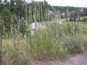 Couch-grass              (Elymus repens)