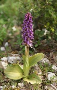 Gigant Orchid    (Himantoglossum robertianum)
