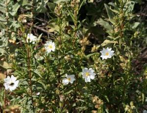 Cistus monspeliensis (Cistus monspeliensis)