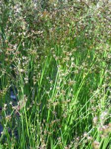 Juncus bufonius         (Juncus bufonius)