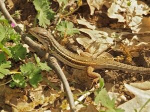 Large psammodromus(Psammodromus algirus)