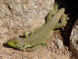 Ocellated lizardTimon lepidus(Lacerta lepida)