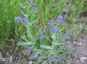 Anchusa azurea     (Anchusa azurea)