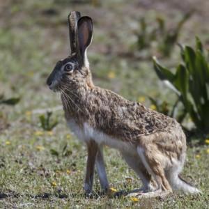Granada hare  (Lepus granatensis)