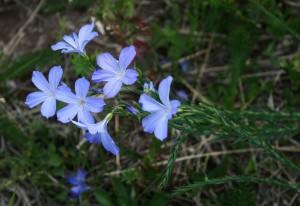 Linum narbonense       (Linum narborense)