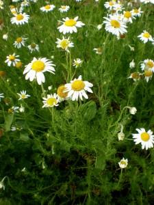 Chamomile                               (Chamaemelum nobile)